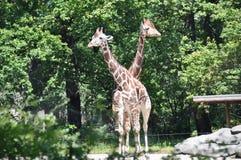 Giraffe в зверинце Стоковые Фотографии RF