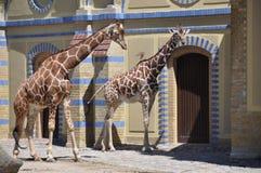 Giraffe в зверинце Стоковое Фото