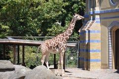 Giraffe в зверинце Стоковые Изображения RF
