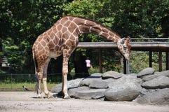 Giraffe в зверинце Стоковые Фото