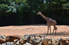 Giraffe в саванне Стоковые Изображения