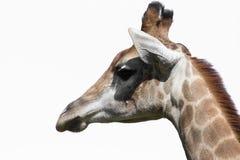 giraffe головной s Стоковая Фотография RF
