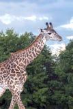 giraffe гуляя Стоковая Фотография