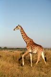 giraffe Кения стоковые фотографии rf
