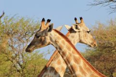Giraffe - x маркирует пятно Стоковые Фото