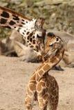 giraffe младенца прижимаясь своя мать Стоковое Изображение