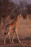 giraffe младенца Стоковое фото RF