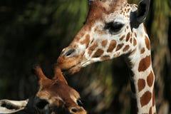 giraffe младенца Стоковое Фото