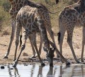 giraffe Намибия giraffa camelopardalis Стоковые Изображения RF
