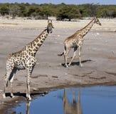 giraffe Намибия giraffa camelopardalis Стоковое Изображение RF