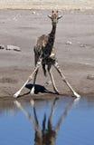 giraffe Намибия giraffa camelopardalis Стоковое Фото