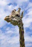 giraffe не поддавшийся эмоциям Стоковое Фото