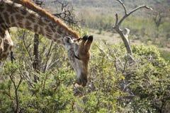 giraffe пася Стоковое Фото