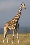 giraffe сетчатый Стоковое фото RF