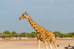 giraffe сетчатый Стоковая Фотография