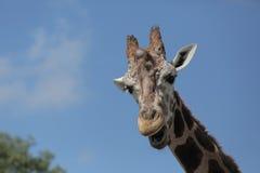 giraffe смотря коса Стоковая Фотография