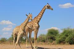 Giraffe - тяги и вода стороны Стоковые Изображения