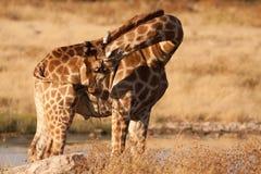 giraffe чистки Стоковая Фотография RF