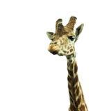 Giraffe& x27; 在白色背景的s头 库存照片