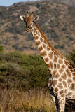 Giraffe 1 Stock Photos