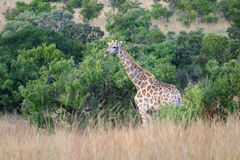 Giraffe. In the bush stock photos