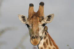 Giraffe. A closeup picture of a giraffe chewing on a leave picked from a nearby tree royalty free stock image