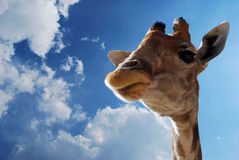 Close up giraffe. Photo of a giraffe close up with a cloudy background Stock Photos