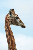 Giraffe. Seen from halfway the neck up from the back Royalty Free Stock Photo