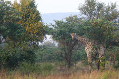 Giraffe. Between the trees royalty free stock photography