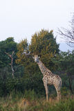 Giraffe. In the bush royalty free stock images