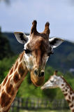 Giraffe. Closeup of a Giraffe head staring at camera Royalty Free Stock Photography