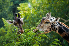 Giraffe. Two giraffes feeding on a sunny day royalty free stock photography
