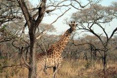 The giraffe. A giraffe giraffe in Kruger National Park - South Africa Stock Photos