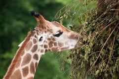 giraffe стоковое фото rf