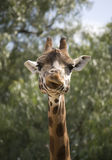 giraffe Стоковое Фото