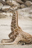 Giraffe. A baby giraffe laying down Stock Image