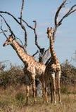Giraffe Fotografie Stock