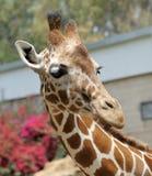 Giraffe. Lizenzfreies Stockfoto