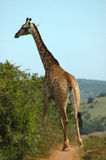Giraffe. Rear view of giraffe on grassland with bush in foreground, South Africa Stock Photo