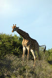 Giraffe. Single giraffe with leafy bushes or thicket and blue sky background Royalty Free Stock Photo