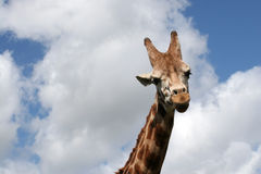 A giraffe. A haughty giraffe looks down Royalty Free Stock Image