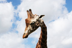 Giraffe. A curious giraffe stares down Royalty Free Stock Images