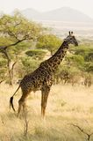 Giraffe Stock Photos
