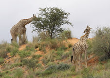 Giraffe. In Kalagadi nature reserve looking for food on dune Stock Photo