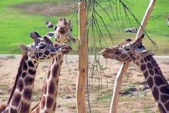 Giraffe Fotografia de Stock Royalty Free