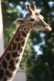 The Giraffe Stock Images