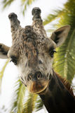 Giraffe. In captivity at a zoo in Spain stock photography