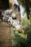 Giraffe. In captivity at a zoo in Spain royalty free stock photography