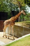 Giraffe. In madrid zoo, vertically framed shot royalty free stock images
