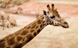 giraffe Стоковые Фотографии RF